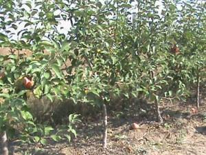 На что обратить внимание при выборе саженцев плодовых деревьев