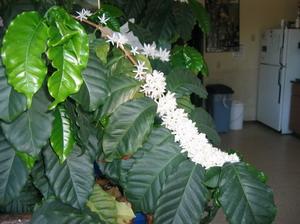 Домашнее кофейное дерево