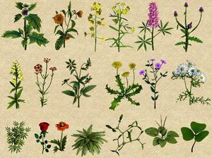 Виды лекарственных трав в России