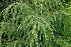 Дерево тсуга китайская