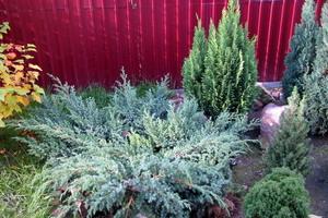 Хвойные в саду и их укрытие на зиму