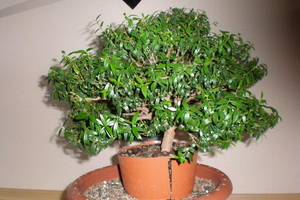 Комнатное растение мирт: фото, свойства и уход