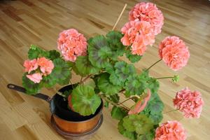 Домашние цветы пеларгония (герань)
