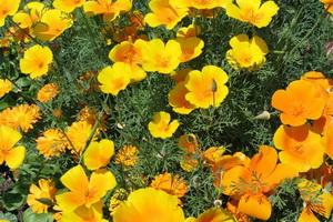 Цветы — представители семейства маковых