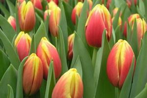 Виды и сорта тюльпанов с фото и описанием