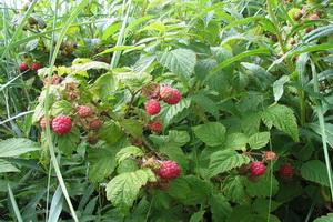Малина: уход, выращивание и обработка от вредителей