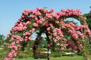Розы плетистые и штамбовые: посадка и уход весной и осенью