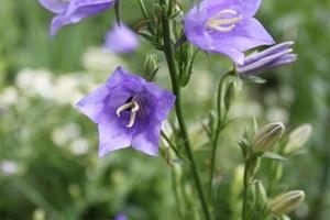 Колокольчик садовый многолетний: описание видов и сортов