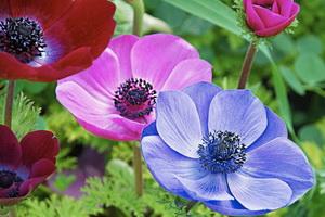 Многолетний цветок анемона: описание видов