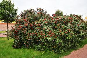 Кустарник калина: описание и агротехника выращивания