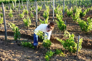 Уход за виноградом: полив, подготовка к зиме, защита от морозов