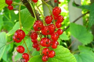 Красная смородина: описание сортов и их выращивание