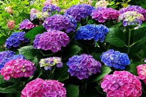 Гортензия: описание, выращивание в саду и дома